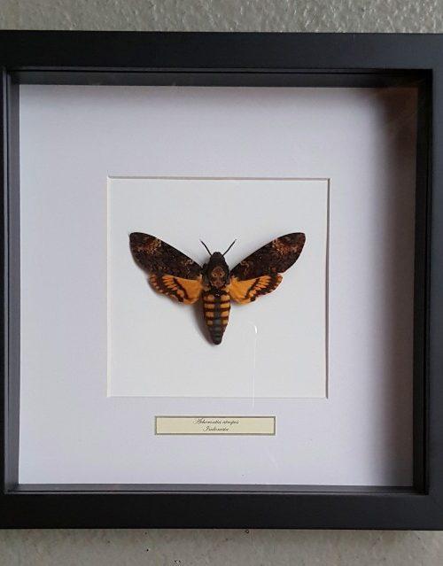 Schmetterling in Holzrahmen (Acherontia Atropos)