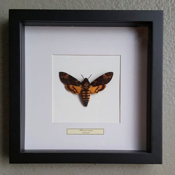 Butterfly in wooden frame (Acherontia Atropos)