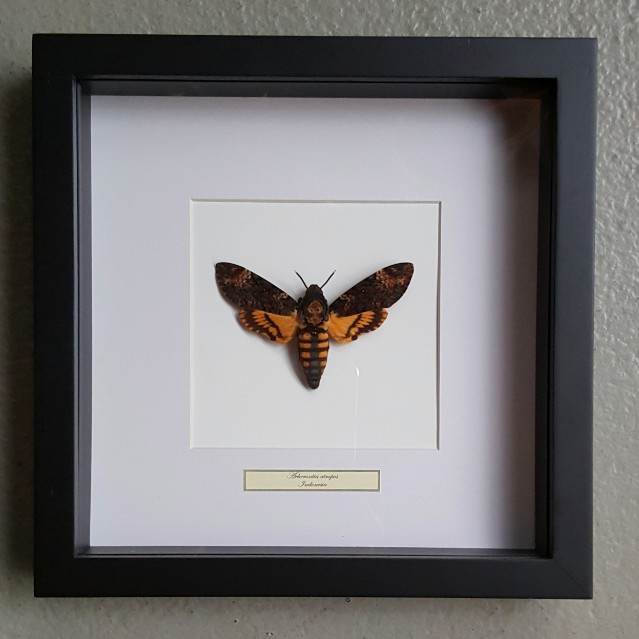 Vlinder in houten frame (Acherontia Atropos)