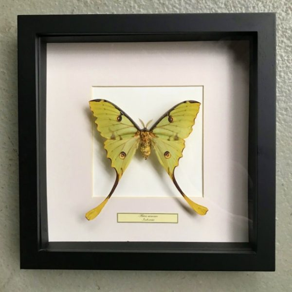 Butterfly in wooden frame (Actias Mimosa)