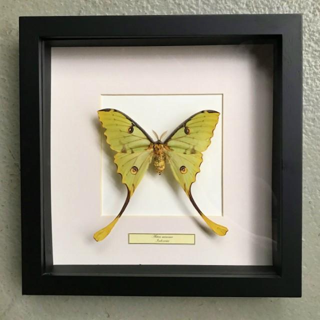 Vlinder in houten frame (Actias Mimosa)