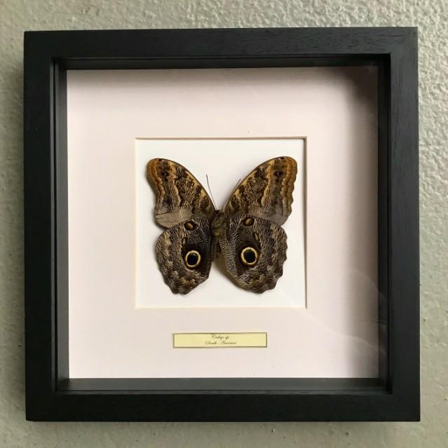 Vlinder in houten frame (Caligo Martia)
