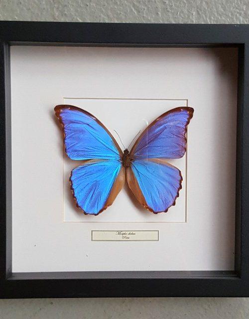 Schmetterling in Holzrahmen (Morpho Didius)