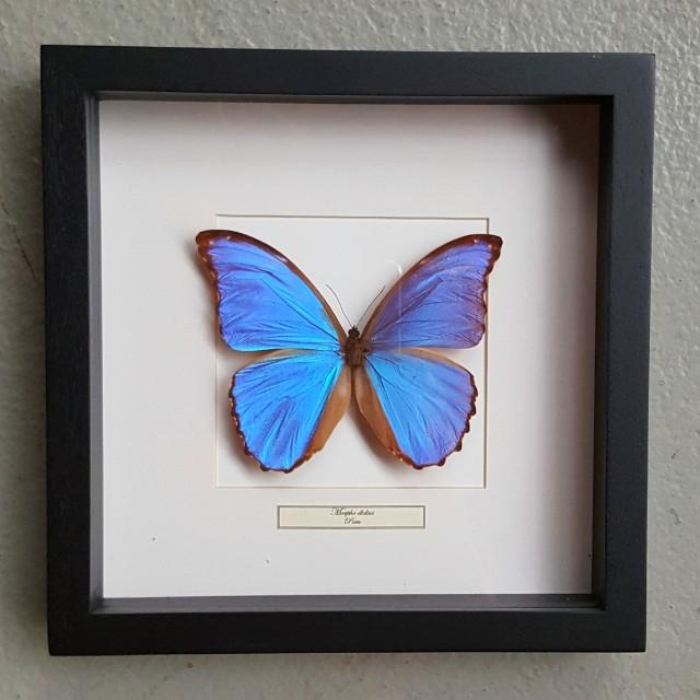 Vlinder in houten frame (Morpho Didius)