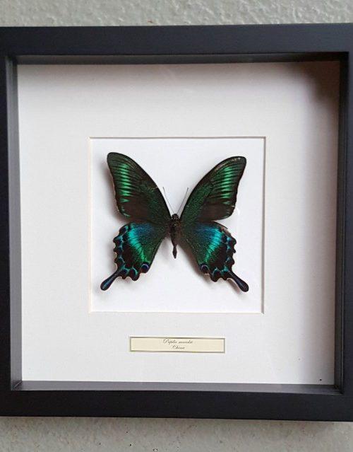 Schmetterling in Holzrahmen (Papilio Maackii)