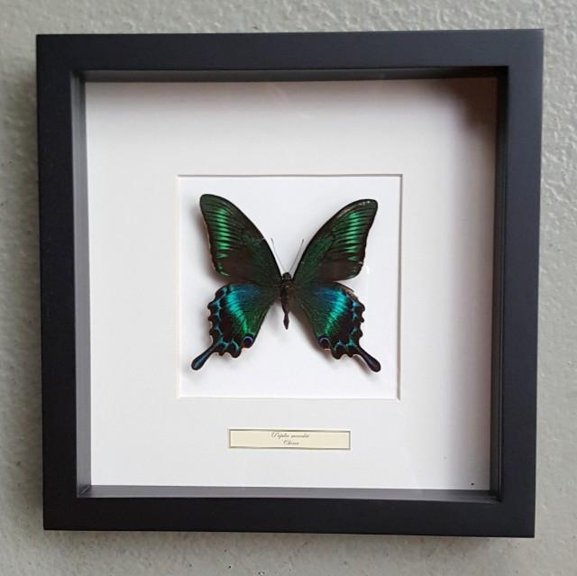 Vlinder in houten frame (Papilio Maackii)