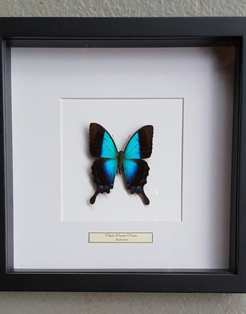 Schmetterling in Holz Rahmen (Papilio Periclus Periclus)