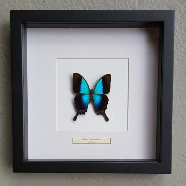 Butterfly in wooden frame (Papilio Periclus Periclus)