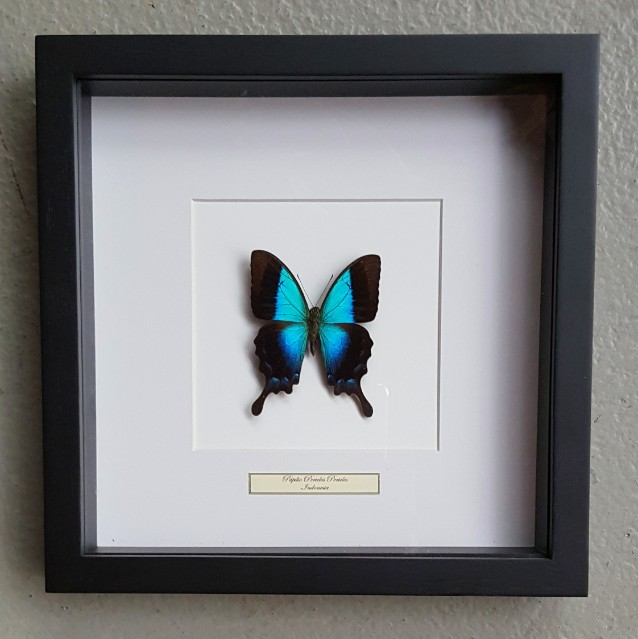 Vlinder in houten frame (Papilio Periclus Periclus)