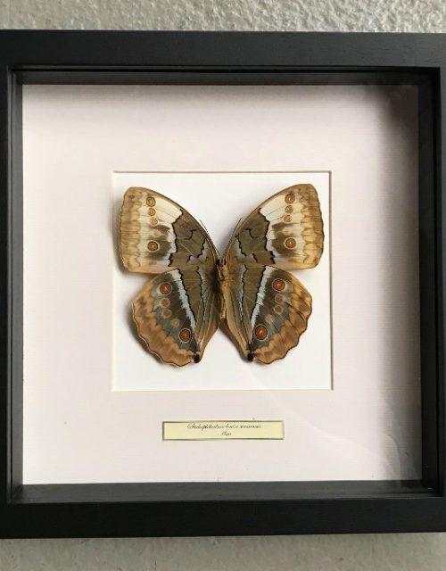 Schmetterling in Holzrahmen (Stichophthalmus Louisa Siamensis)