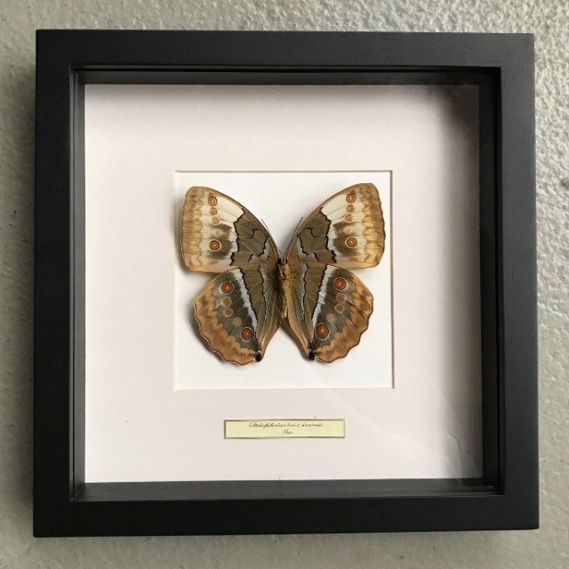 Vlinder in houten frame (Stichophthalmus Louisa Siamensis)