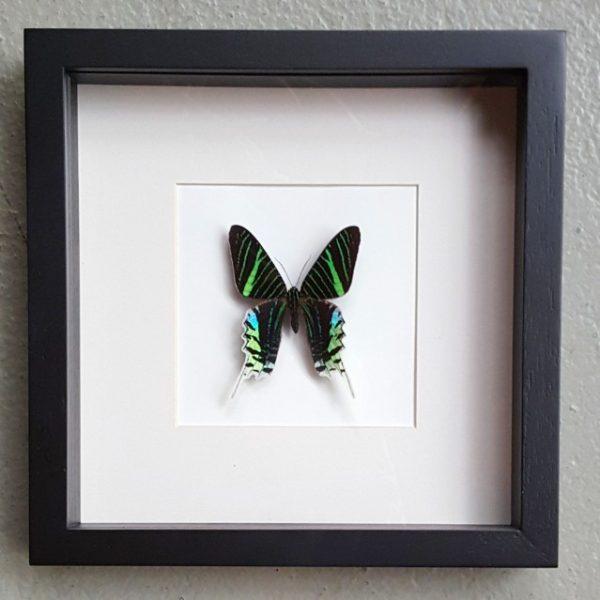 Schmetterling in Holzrahmen (Urania Leilus)