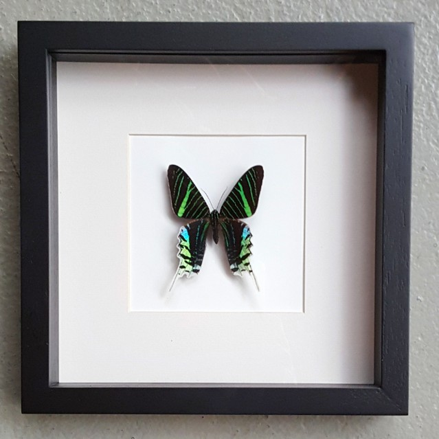 Vlinder in houten frame (Urania Leilus)