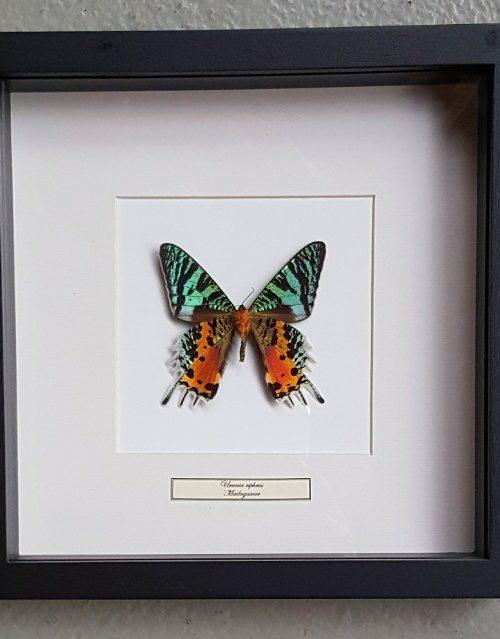 Schmetterling in Holzrahmen (Urania Ripeus)