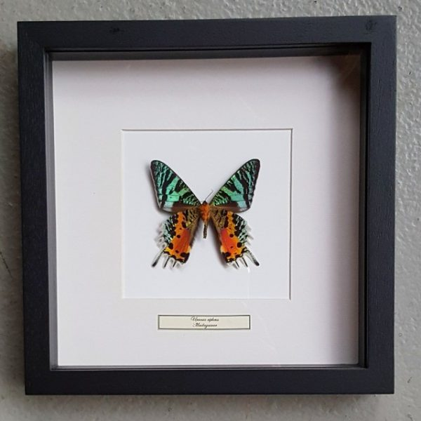 Vlinder in houten frame (Urania Ripheus)