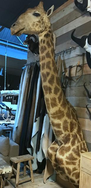 Colossal ausgestopften Kopf einer Giraffe