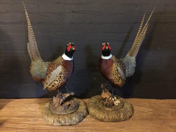 Paar recent opgezette fazanten