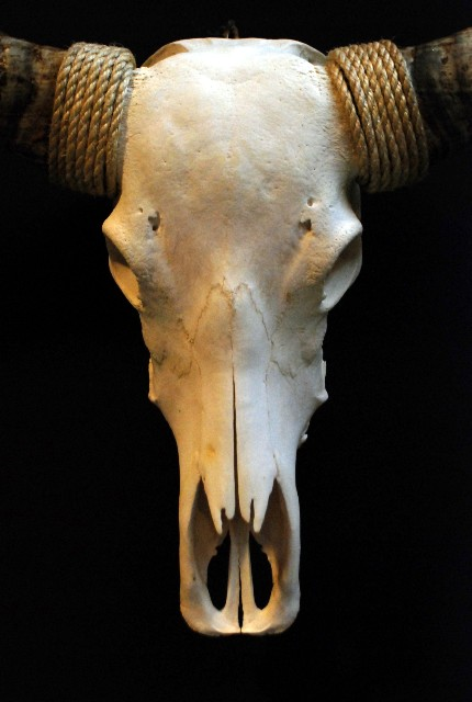 Exclusive skull of a longhorn.