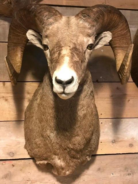 Exklusiver preparierter Kopf eines Bighorn Wieder kaufen