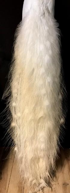 Exklusiven weißer Pfau