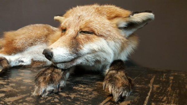 Ausgestopfter schlafender Fuchs
