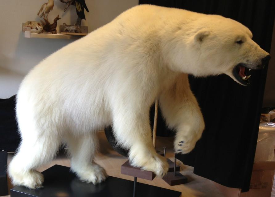 Bijzondere mooie opgezette ijsbeer.