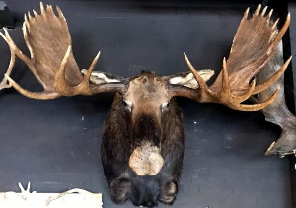 Giant hunting trophy of a Canadian (Yukon) moose