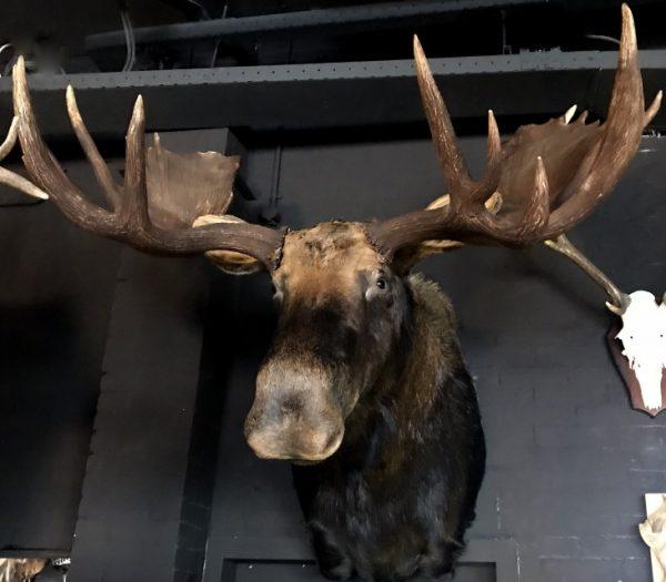 Riesenkopf Kopf eines kanadischen (Yukon) Elch