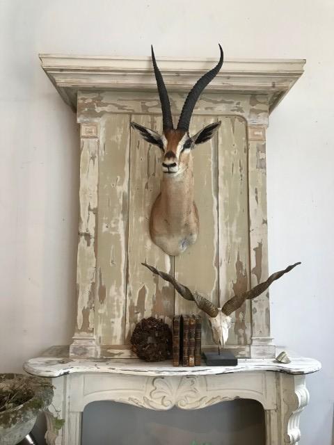 Grand Gazelle Kopf