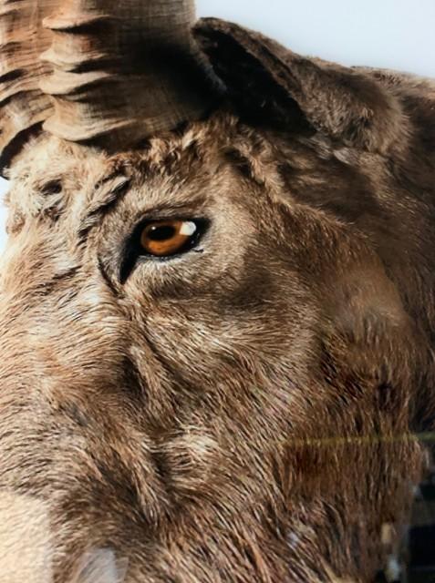 Hoge resolutie afdruk van een Steenbok