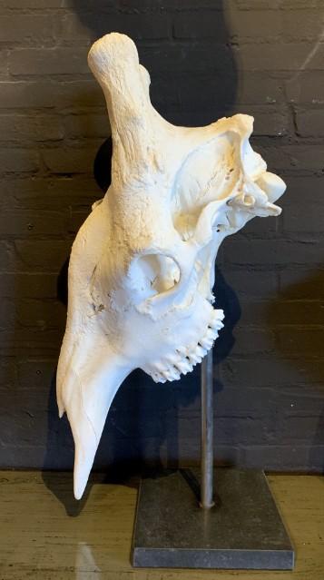 Enorme schedel van een giraffe.