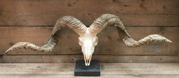 Huge skulls of Tibetan rams