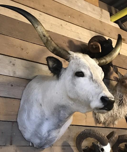Sehr große ausgestopfte Kopf eines ungarischen Steppenbull
