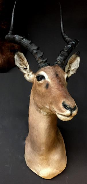 Jagd Trophea eines Impala