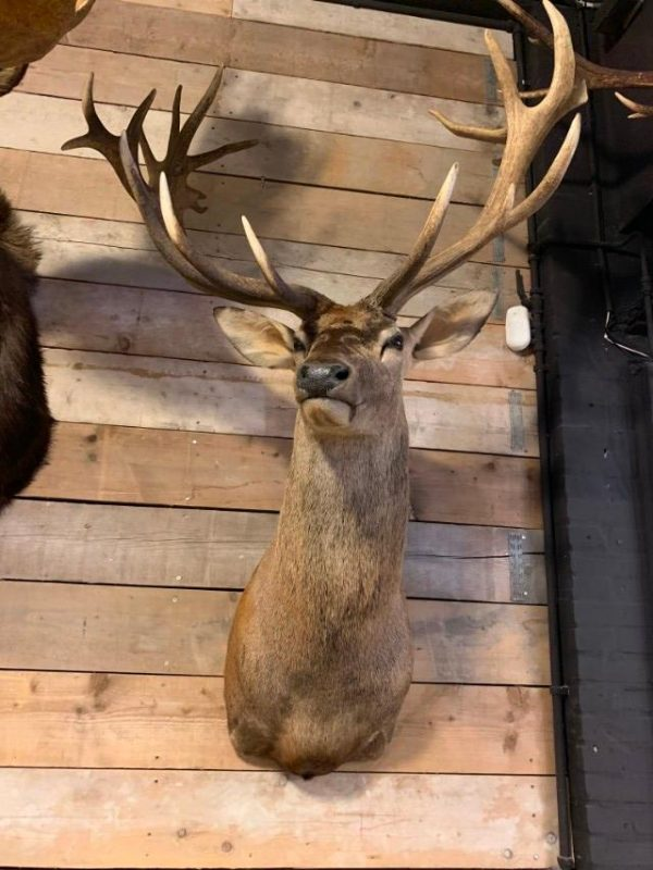 Jagdtrophäe eines riesigen Rot Hirsch