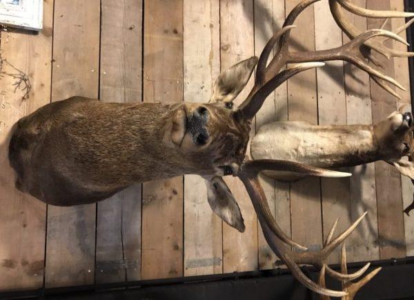 Jagd Trophea einen beeindruckende Hirsch