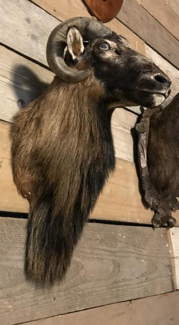 Jagd Trophäe eines Mufflons