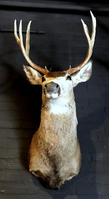 Hunting trophy of a mule deer