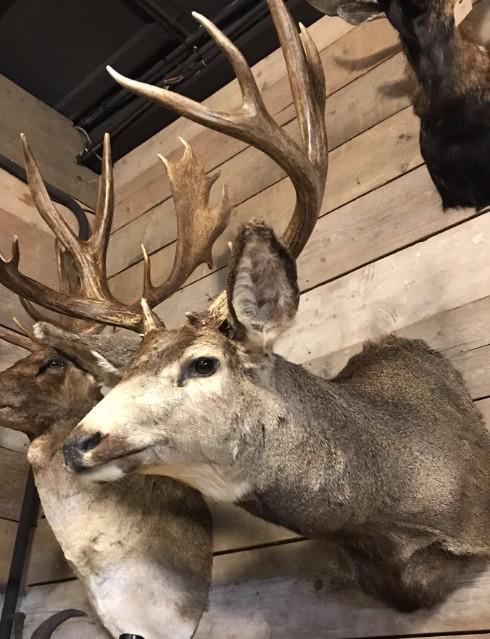 Jagdtrophäe eines mule deer