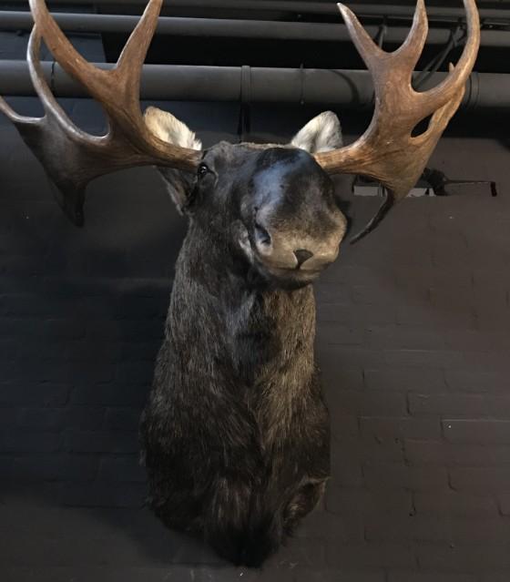 Jagdtrophäe eines skandinavischen Elches