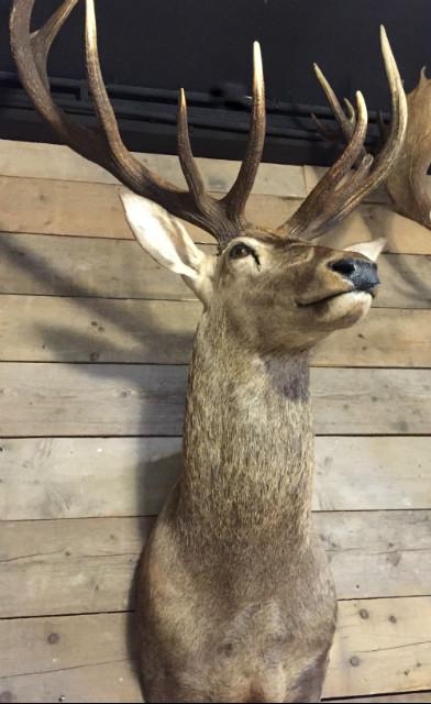 Jagd Trophäe von einem sehr großen Hirsch.