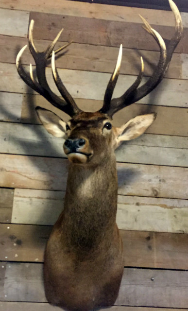 Hunting Trophy of a very large red deer