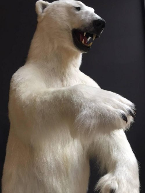 Rare stuffed polar bear
