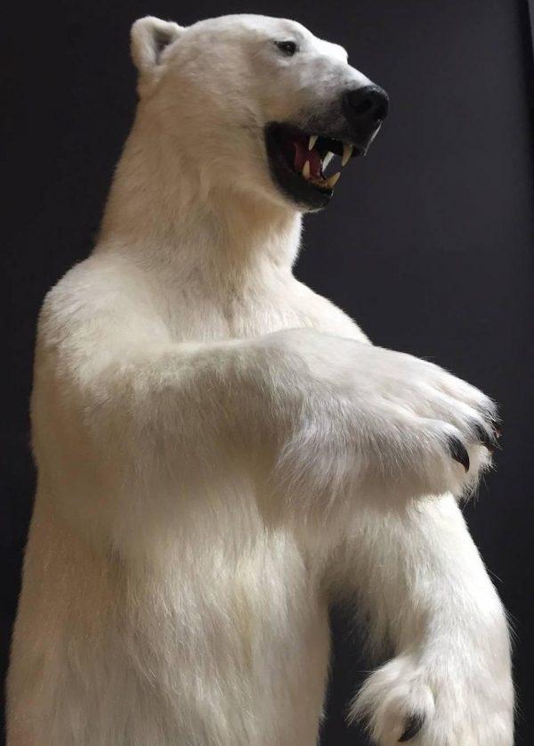 Bijzondere opgezette ijsbeer