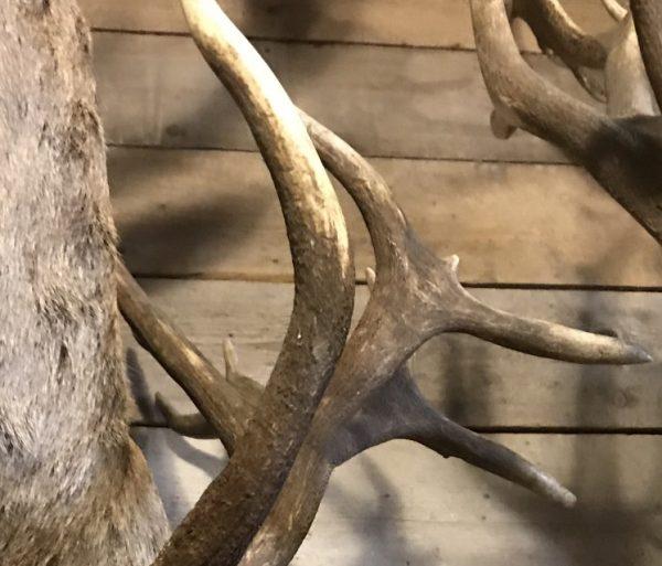 Imposante kop van een edelhert (ongelijke 26-ender)