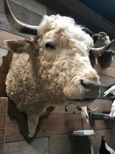 Imposing stuffed head of a charolais bull