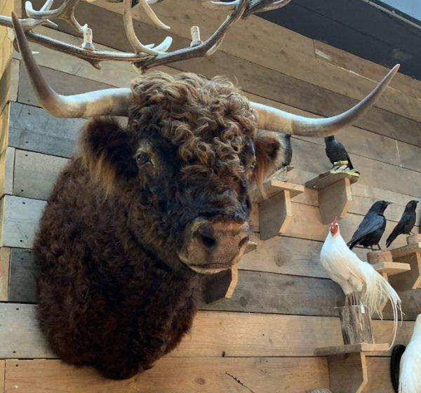 Imposing taxidermy head of a Scottish highland bull