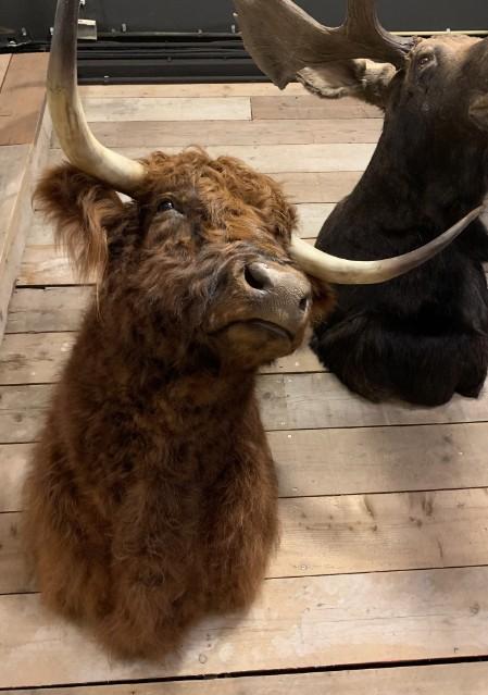 Imposante opgezette kop van een Schotse hooglander stier