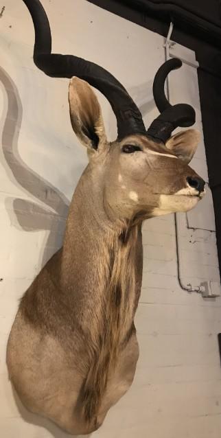 Impressive Kudu head
