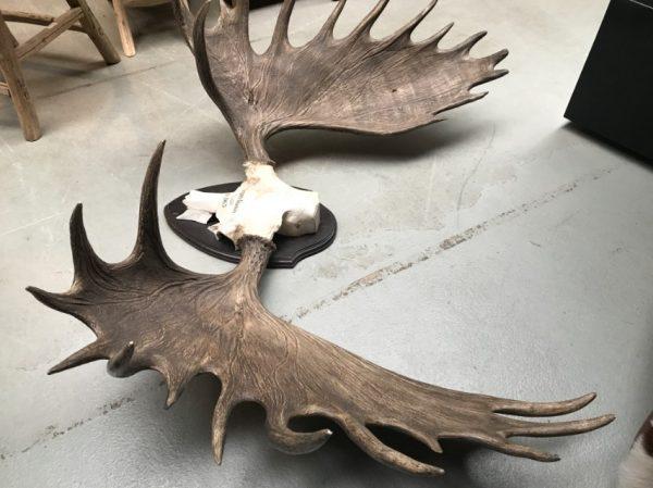 Imposant abnorm gewei van een Canadese eland
